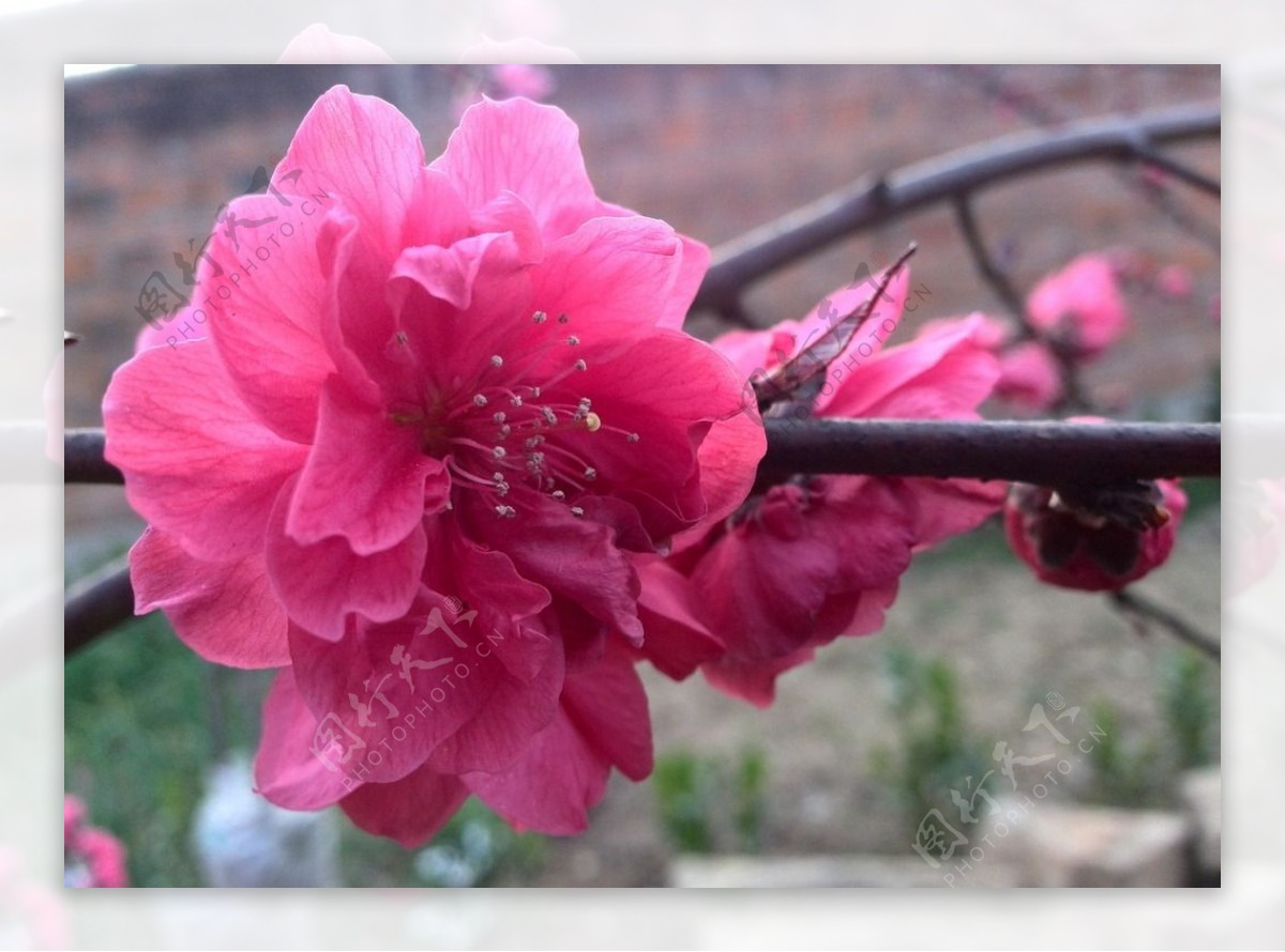 紫叶桃花图片
