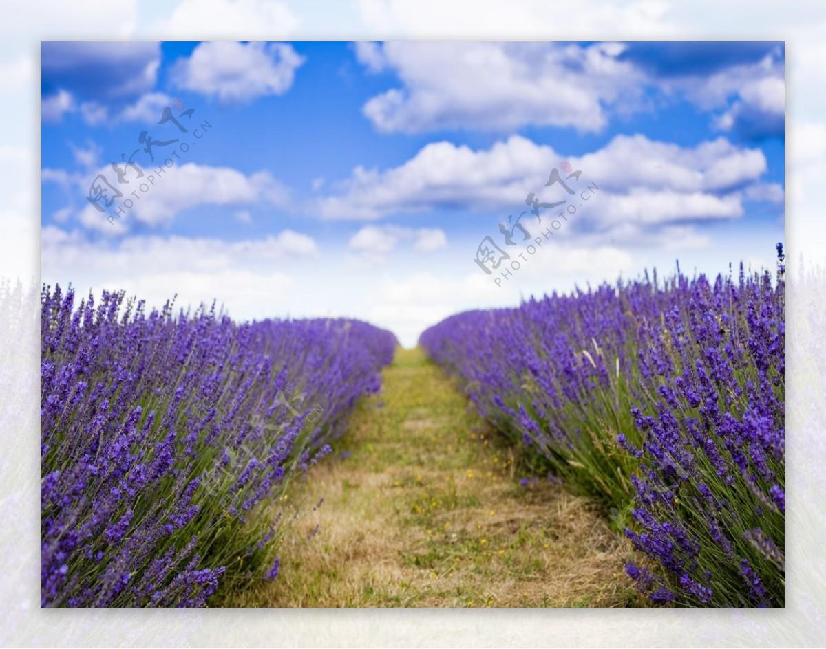 熏衣草蓝天花海紫色